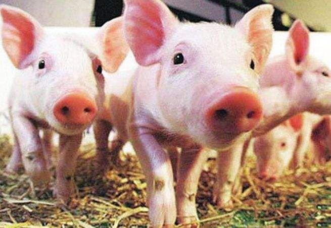 冬季养猪必备:猪常发呼吸道疾病的鉴别诊断