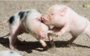 短期猪价明显上涨阻力大 疫情传播速度加快